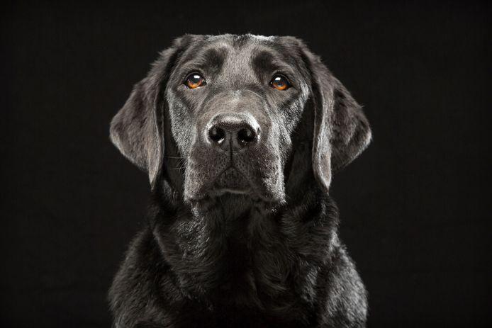 Een zwarte labrador (archiefbeeld)
