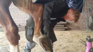 Van pony tot Vlaams trekpaard: Wesley vestigt wereldrecord door 24 uur lang paardenhoeven te verzorgen