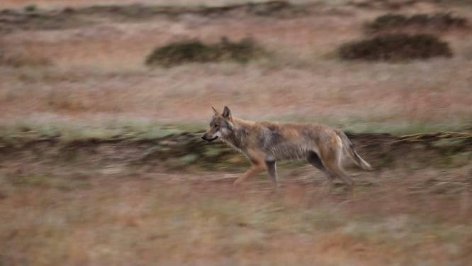 Faunabescherming looft 5000 euro uit voor gouden tip over schutter van wolf in Stroe: 'Dit is een misdaad'