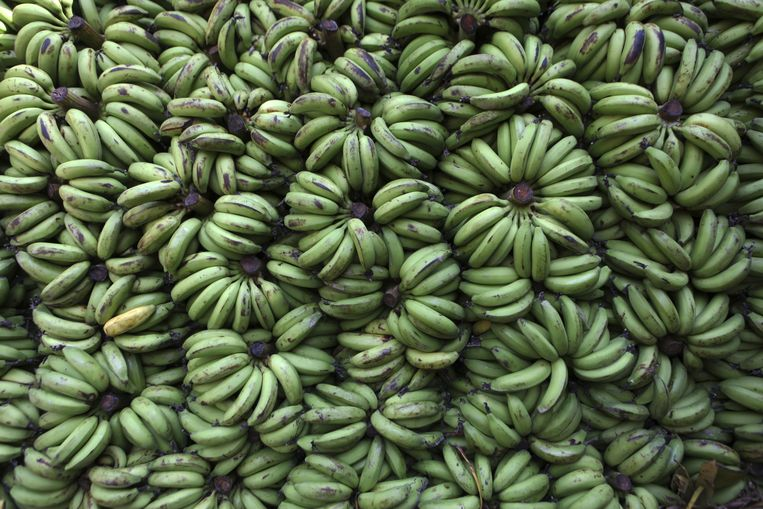 Bananentransporten zijn populair onder Zuid-Amerikaanse drugssmokkelaars. Beeld