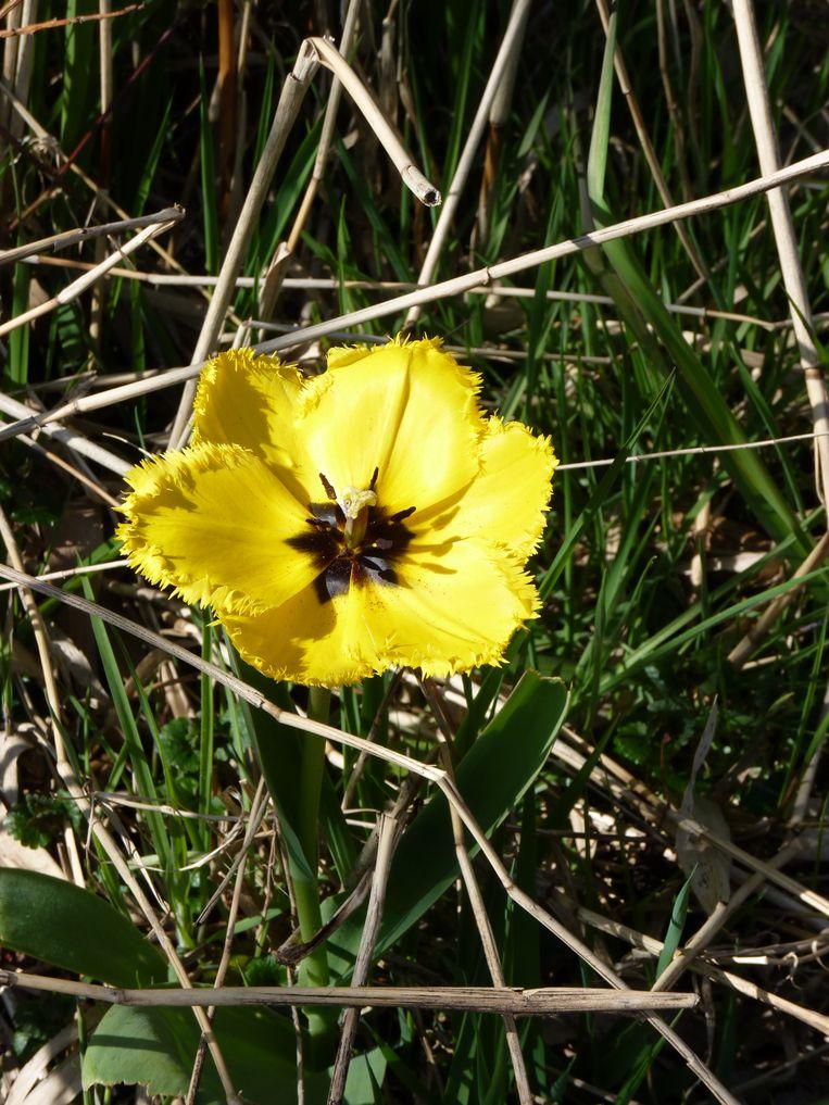 Een tulp met gele bloembladeren met een gerafelde rand en een zwart hart. Beeld Jan Dikmans