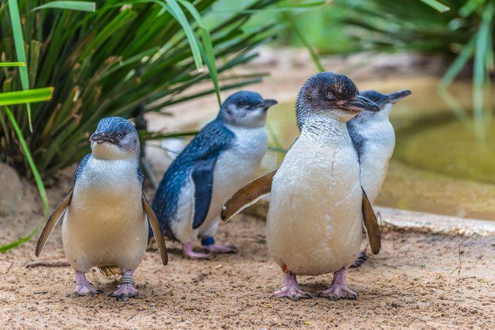 De kleine pinguïn, ook bekend als Eudyptula minor.
