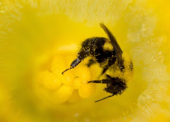 Een 'heksenbrouwsel' van pesticiden en schimmelbestrijdingsmiddelen zorgt ervoor dat de bijen minder of niet meer resistent worden tegen een dodelijke parasiet.