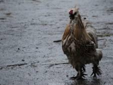 'Kukeleku!' Gedumpte hanen in Julianapark mogen blijven kraaien