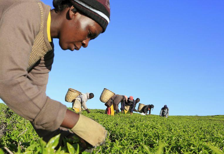 Een vrouw plukt thee in Kenia. Bij dit werk is het loon vaak te weinig om fatsoenlijk van te leven. Beeld REUTERS
