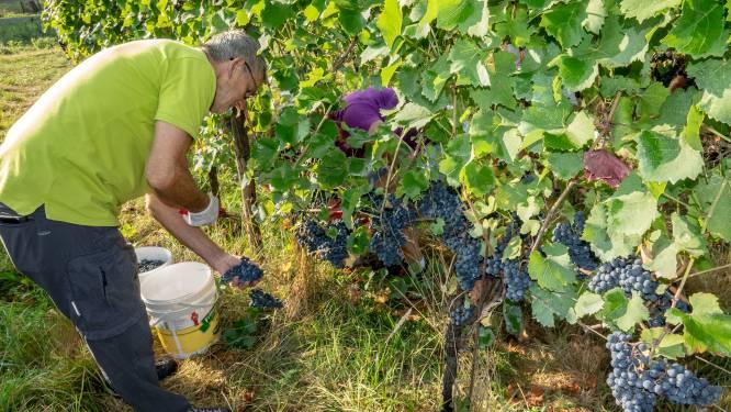 Regen zorgt voor spannende weken voor wijnboeren in de regio: 'Het hangt van de komende weken af'