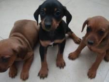 Des voleurs tuent une chienne et emmènent ses 10 chiots lors d'un cambriolage
