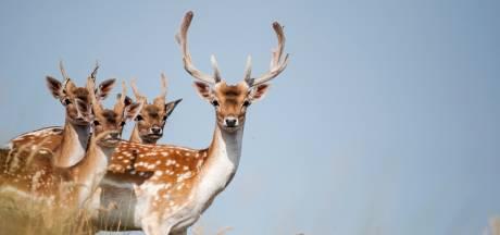 Tot nu toe elf damherten afgeschoten in de Hoeksche Waard: 'Wat is het geslacht van de dieren?'