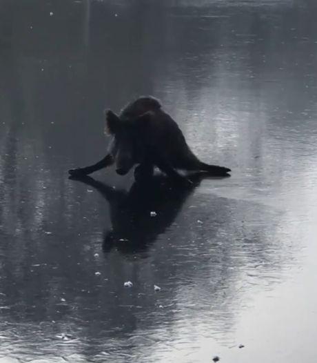 Un patineur aide un sanglier coincé sur un lac gelé
