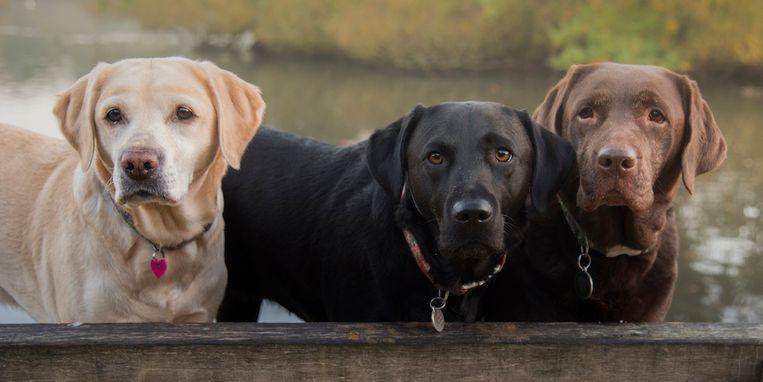 labrador-beige-zwart-bruin.jpg