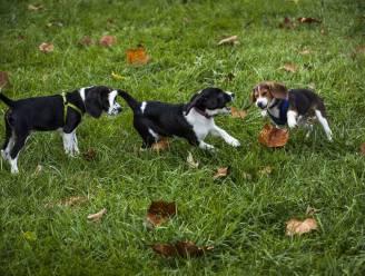 Labo's testen meest op beagles