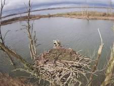 Uniek: live meekijken in het nest van Biesbosch-visarenden