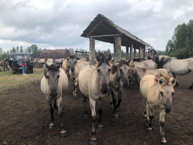 Konikpaarden uit de Oostvaardersplassen verhuisden naar natuurgebied Naliboki in Wit-Rusland. Beeld Michiel Driebergen