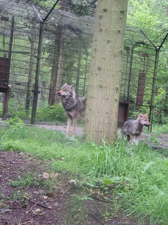 Het enig overgebleven wolvenjong en een volwassen wolf in Dierenpark Amersfoort.