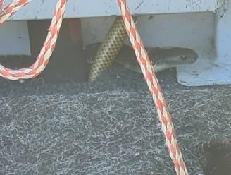 Australische visser (80) overleeft boottocht van half uur met dodelijke tijgerslang aan boord