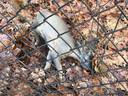 Een ree die zijn nek brak op het MOB-terrein in Groesbeek tijdens een vlucht voor een loslopende hond (mogelijk een politiehond).