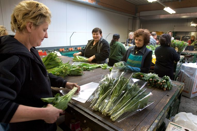 Uitzendkrachten uit Polen aan het werk in de Nederlandse bloemensector.  Beeld Koen Suyk, ANP