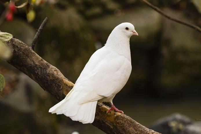 De witte duif: meestal het symbool van liefde, maar Javaanse vrouwen ervaren dat momenteel anders.