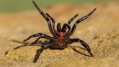 Na bosbranden, overstromingen en giga hagelbollen gaan nu ook dodelijke spinnen Australië teisteren, waarschuwen experts