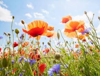 Klaprozen, magrietjes en kamillebloemen fleuren onze bermen op. Natuurexperten leggen uit waarom we zoveel wilde bloemen zien
