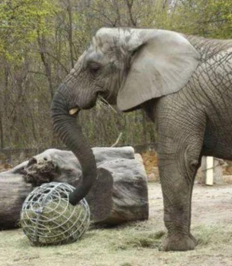 Olifanten in Poolse dierentuin krijgen cannabisolie tegen stress