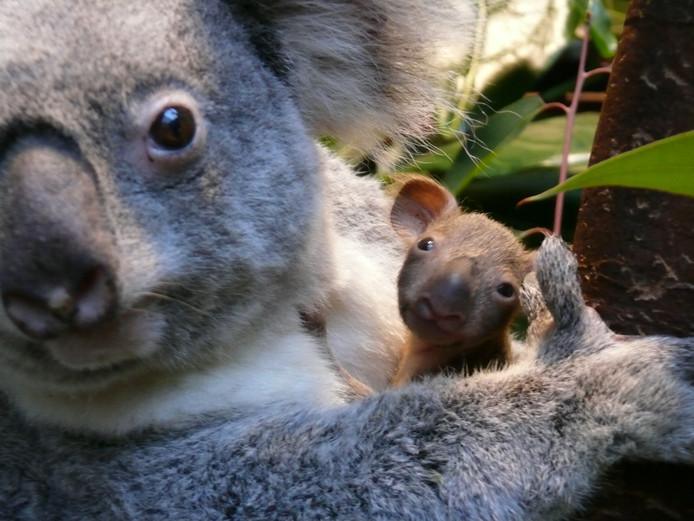 49ab64c535d Babykoala komt voor het eerst uit buidel in Antwerpse zoo ...