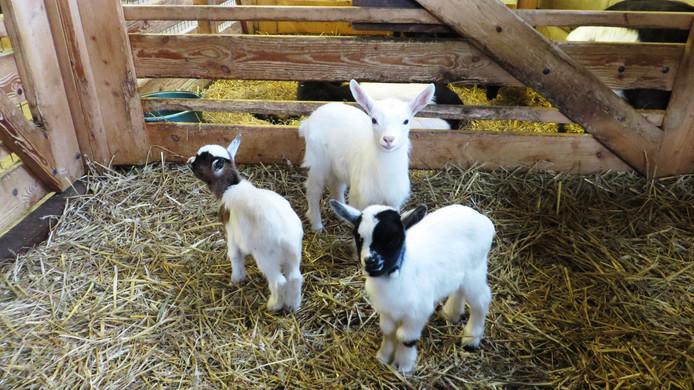 Lammetjes bij kinderboerderij Dierendal in Waddinxveen.