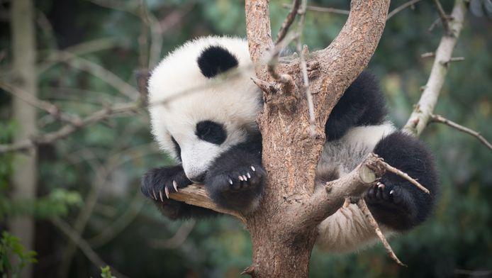 Elk excuus om een foto van een babypanda te zetten is goed.