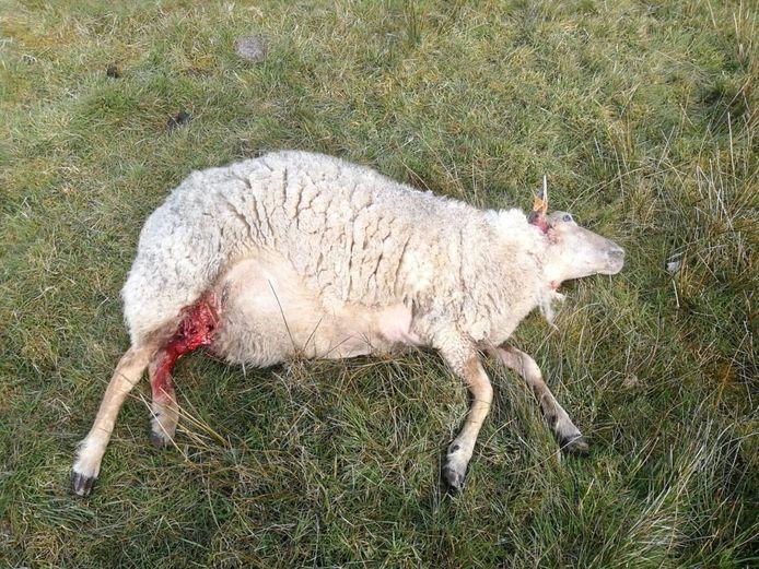 Woensdagochtend werden drie schapen doodgebeten aangetroffen op een wei in de Kalmthoutse Heide