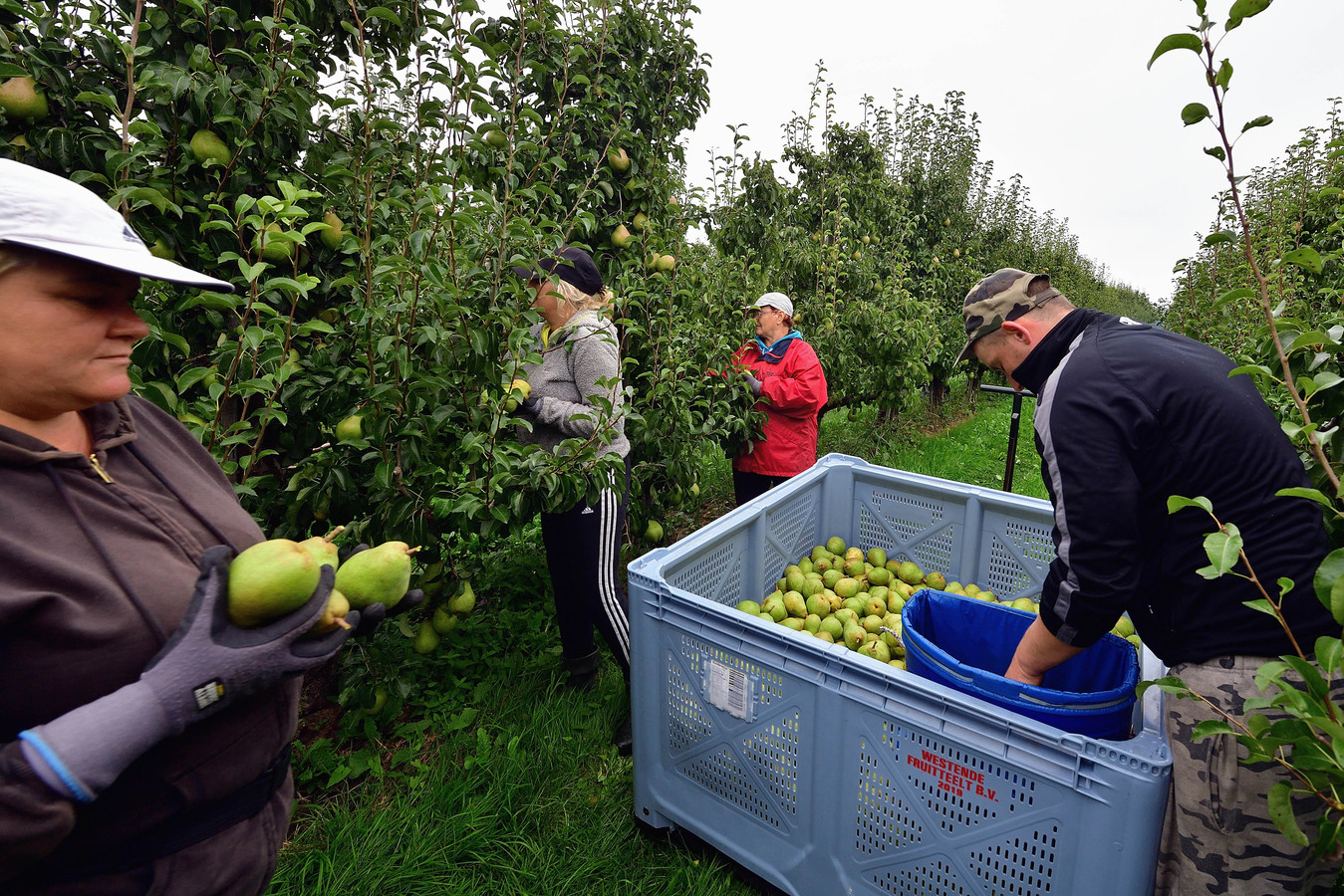 In West-Brabant werken behoorlijk wat (Poolse) arbeidsmigranten in de fruitsector. Ook in de distributiesector is er veel vraag naar hen.