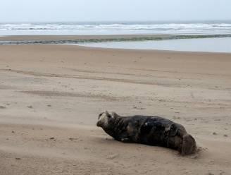 Zeehond gespot in Westende-bad