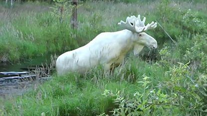 Gespot in Zweden: zeldzame witte eland
