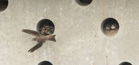 Oeverzwaluwen helemaal happy in 140 meter lange betonnen muur. 'Soms kukelt een jong naar beneden'
