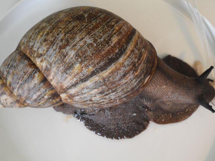 Deze Utrechter heeft een reuzenslak als huisdier: 'Het is een braaf beestje'