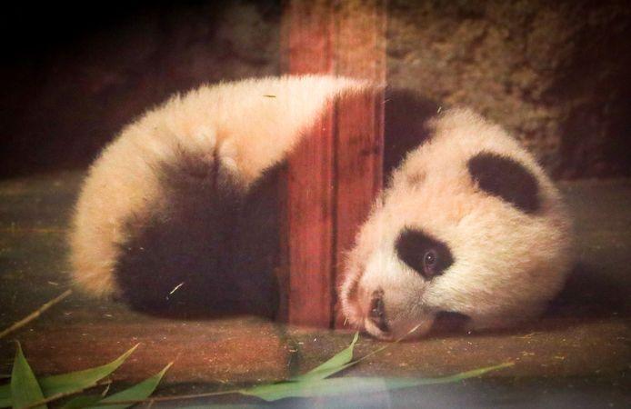 Babypanda Bao Di.