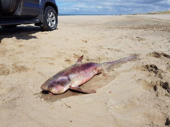 Een zeer zeldzame vondst in Ouddorp: een dode voshaai spoelde daar aan op het strand.