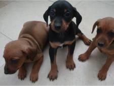 Hond Luna (3) gedood en tien pups gestolen uit stal van hobbyfokker in Beers: 'Ik kan wel janken'