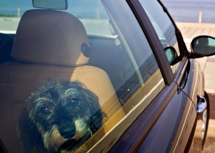Een hond in een auto heeft last van de hitte. Foto ter illustratie, niet de hond uit dit verhaal.