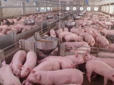 'Prijs varkensvlees dreigt enorm te stijgen door uitbraak pest in China'