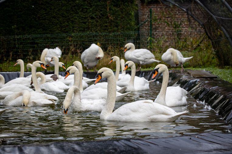 De zwanen aan het Stil Ende nabij de Ezelpoort in Brugge moesten deze week gevangen worden. Beeld BELGA
