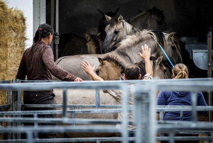 De eerste 50 konikpaarden gaan op transport naar een natuurgebied in Wit-Rusland.
