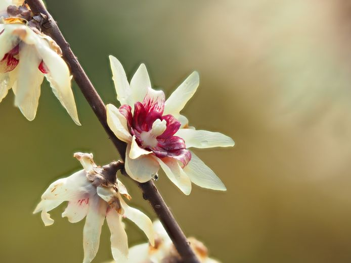 Chimontanthus: zoet en kruidig.