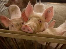 Varkensvlees veel duurder: 'Dit zorgt voor meer vet op onze botten'