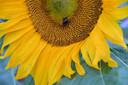 Een bij loopt te snoepen op een grote zonnebloem in de bloemenrand langs een akker van Bart Brooijmans