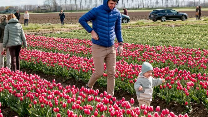 Tulpenvelden in Meerdonkse polder zijn heuse attractie