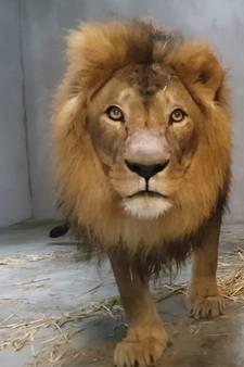 Leeuw Dukat laat leeuwinnen schrikken in Dierenpark Amersfoort