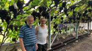 """Bekende druiventeler Flup Luppens met pensioen: """"Ze hebben ons vaak zot verklaard, maar we hebben tafeldruif toch op de kaart gezet"""""""