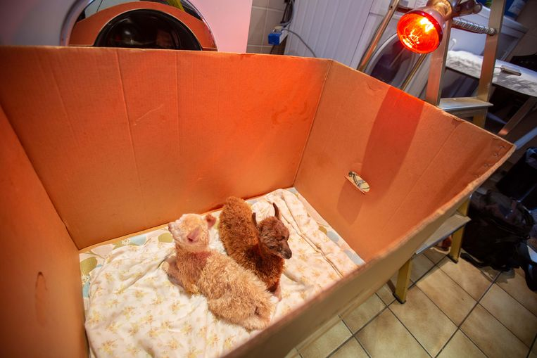 Milou (wit) en Filou verblijven momenteel nog binnen in een kartonnen doos onder een warmtelamp