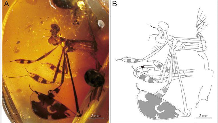 De in barnsteen gestolde breedscheenjuffermannetjes van 100 miljoen jaar geleden, en (rechts) de grafische weergave ervan. Beeld Chinese Academy of Science