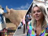 Schilderend varken gered van de slacht, nu wereldberoemd